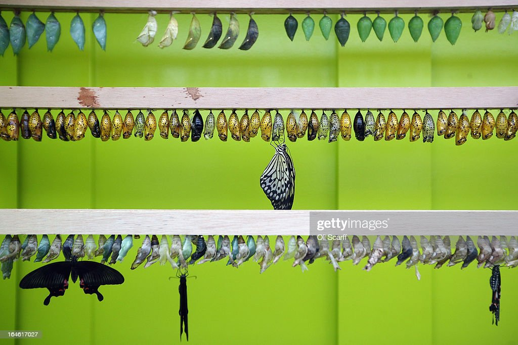Butterflies emerge from their chrysalises in the 'Sensational Butterflies' exhibition at the Natural History Museum on March 25, 2013 in London, England. The live, tropical butterfly house will be stationed on the Natural History Museum's east lawn from March 29, 2013 until September 15, 2013.