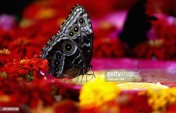 Butterflies feed on oranges at Dubai Butterfly Garden on August 5 2015 in Dubai United Arab Emirates