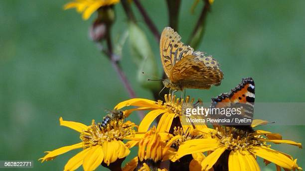Butterflies Feeding On Yellow Flowers