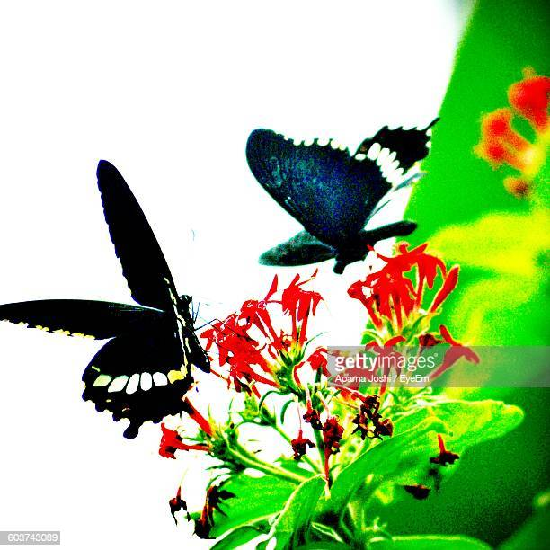 Butterflies Flying Over Red Flowers