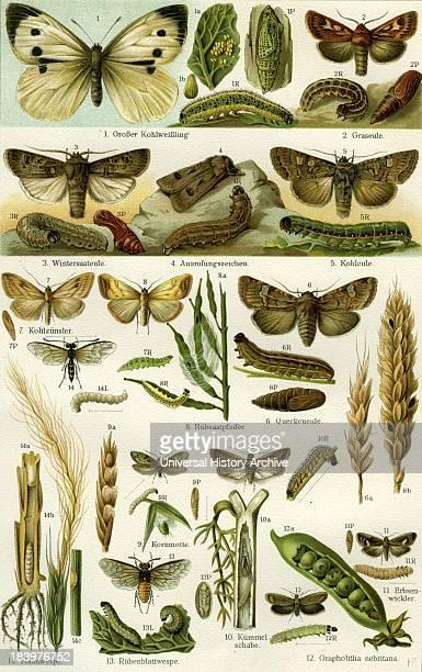 Butterflies Nineteenth Century