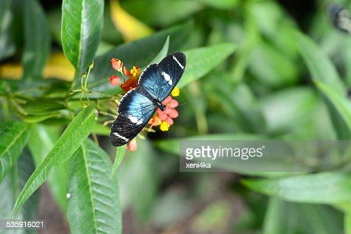 Butterflies on exotic tropical flower, Ecuador : Stock Photo