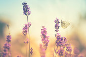 Butterflies on lavender