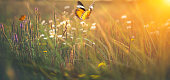 Butterflies on meadow at sunset