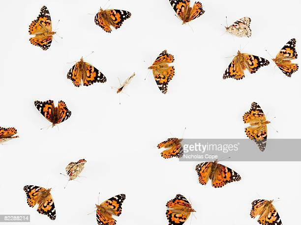 Butterflies on pure white ground