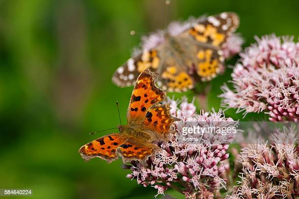 Butterflies Painted lady and Comma on Kidneyroot in the dunes the Netherlands