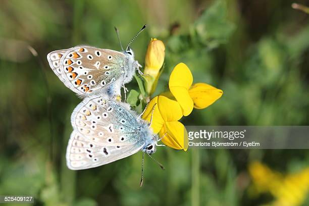 Butterflies Pollinating Flowers