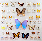 Butterfly collection with several errata in the nomenclature.. biggest error the Morpho didius, big blue butterfly in the middle of the image is called Moreo Dibius...