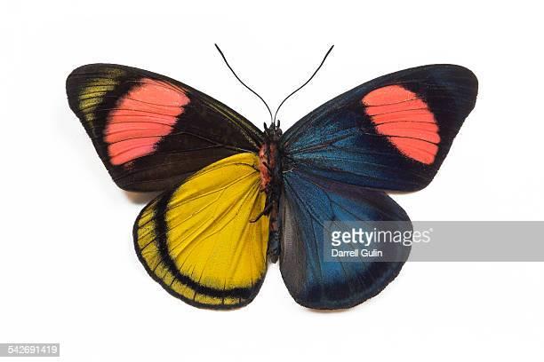 Butterfly Batesia hypochlora f. chrysochlora