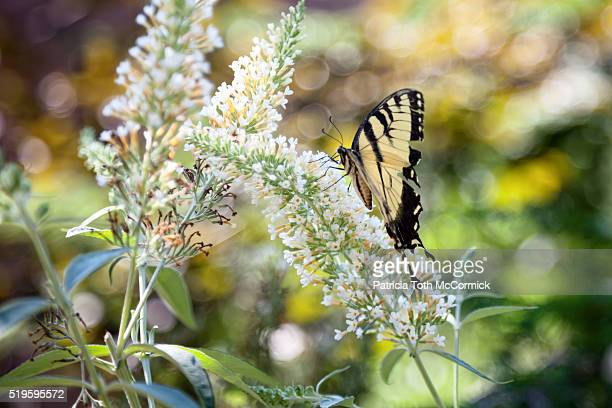 Butterfly bush blossom attracts colorful butterfly