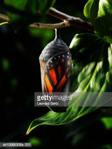Butterfly chrysalis on tree branch