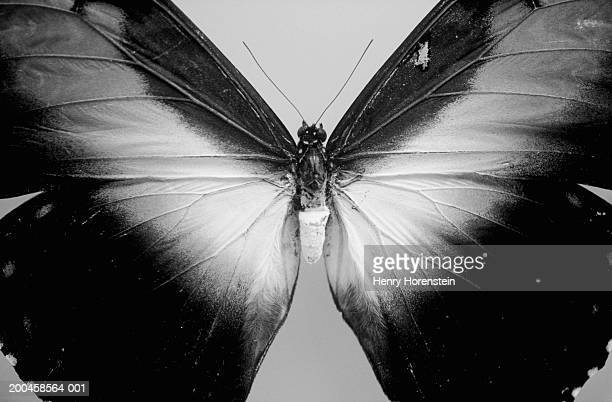 Butterfly, close-up (B&W)