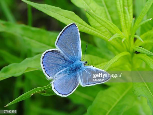 Borboleta azul comum