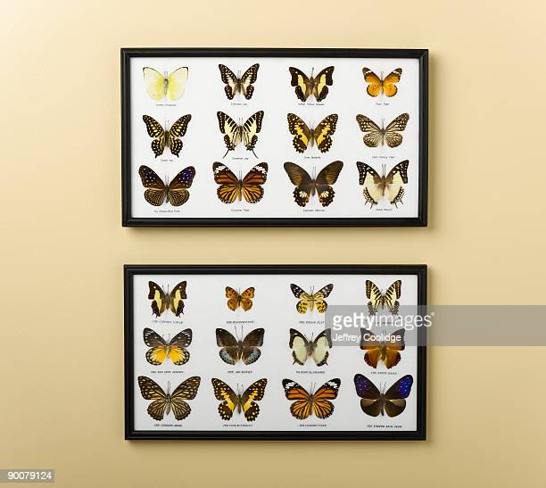 Butterfly Display on Wall