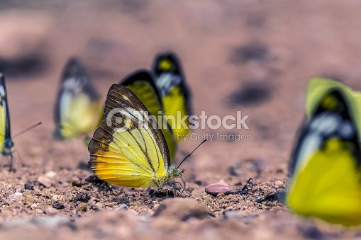 Butterfly down to eat the soil foto stock thinkstock for Pesce rosso butterfly