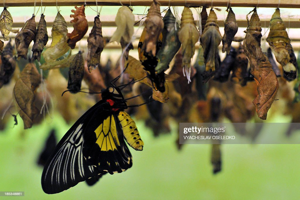A butterfly emerges from its chrysalis during a Butterflies exhibition in Bishkek, on October 19, 2013.