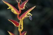 Butterfly feeding on nectar of Heliconia flower, Cayambe - Coca, Andes, Ecuador