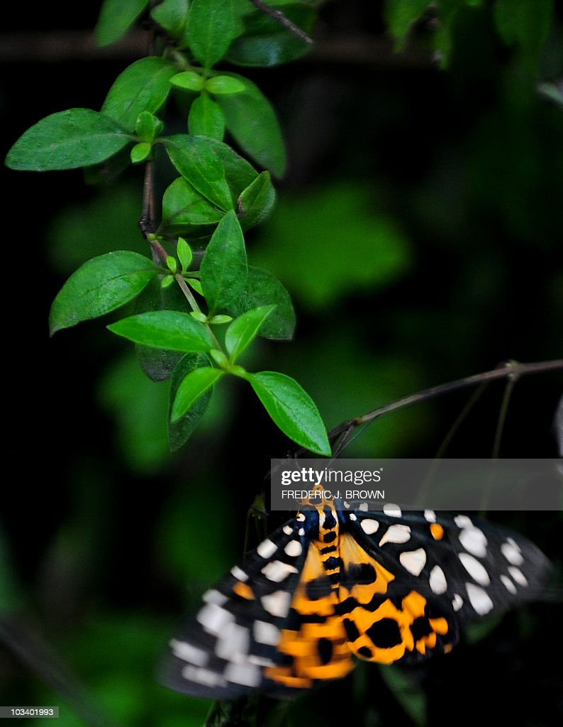 A butterfly feeds on the stem of plants in Guangyuan county on August 13, 2010 in northern Sichuan province. Butterflies feed mostly on nectar from flowers, while some derive nourishment from pollen, tree sap and rotting fuit with a life cycle consists of four parts; egg, larva, pupa and adult. While important as pollinators for some species of plants, butterflies in general do not carry as much pollen load as bees. AFP PHOTO/Frederic J. BROWN