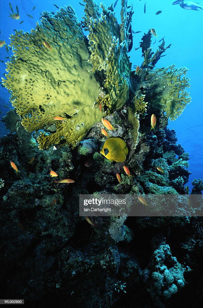 Butterfly Fish and Coral -- Red Sea : Stock Photo