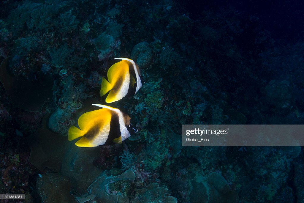 Butterfly fish in Palau, Micronesia
