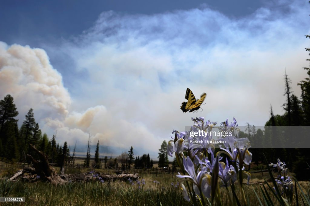 A butterfly hoaver over a flower as smoke rises around the Lee Valley Recreational area in the Apache National Forest during back burn operations as the Wallow Fire continues to burn June 12, 2011 in Big Lake, Arizona. The wild fire which is reported as 45 percent contained has spread over more than 600 square miles as it crossed the border into New Mexico, destroying over twenty structures, the majority in the resort town of Greer, and threatened thousands more.