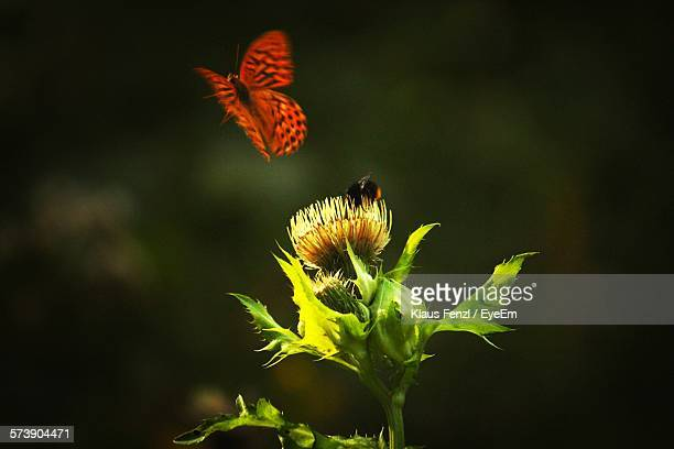 Butterfly Hovering By Flower With Bee