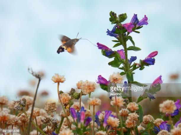 Butterfly hummingbird hawk-moth (Macroglossum stellatarum)