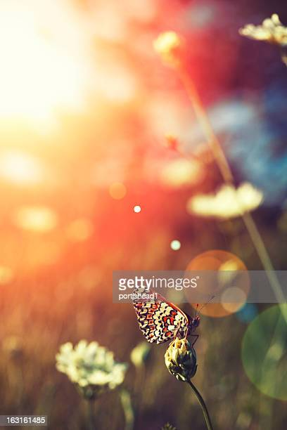 Butterfly in a field at sunset