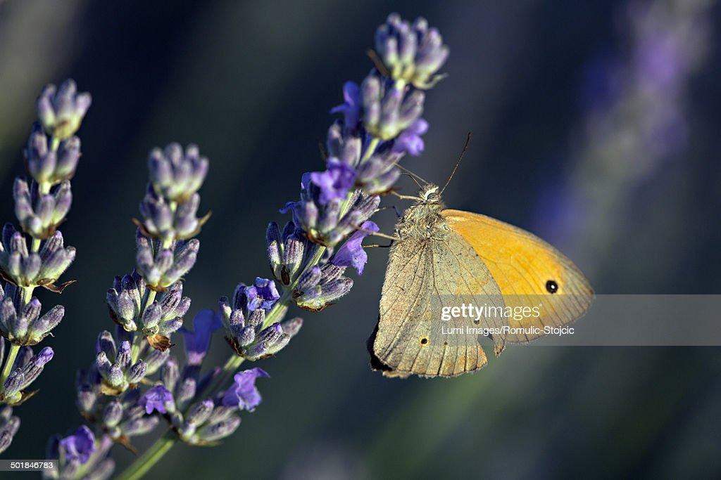Butterfly in Lavender Field, Island Hvar, Croatia, Europe