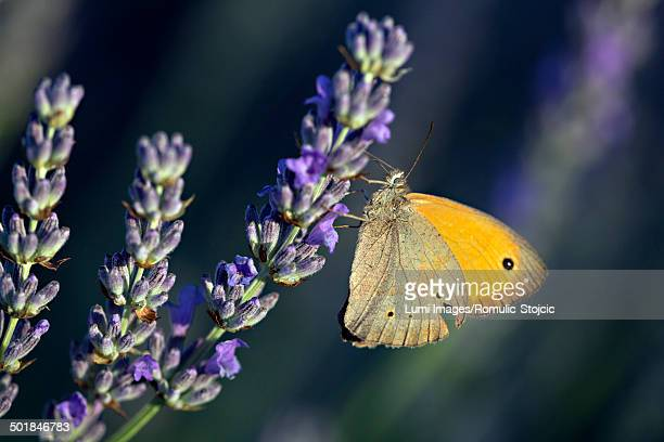 Butterfly in Lavender Field, Island Hvar, Croatia, Europe
