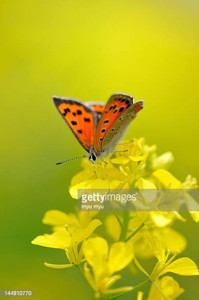 Butterfly in yellow flowers