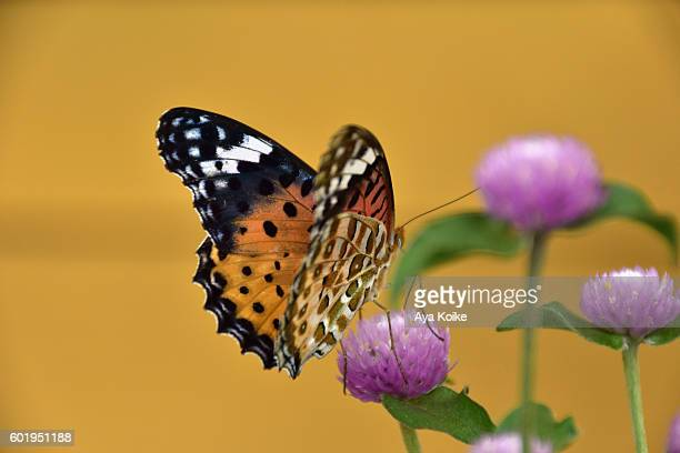 A butterfly, Indian Fritillary and Flowers of Sennichikou (globe amaranth)