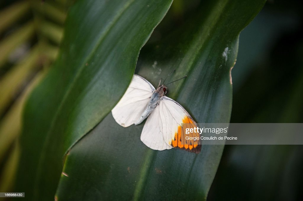 A butterfly is seen during the opening of the new butterfly and insect section at the Bioparco on April 19, 2013 in Rome, Italy. A new greenhouse measuring 80 square metres will be unveiled at the capital's famous zoological gardens, where visitors will be able to walk amongst tropical butterfiles and a variety of insects.