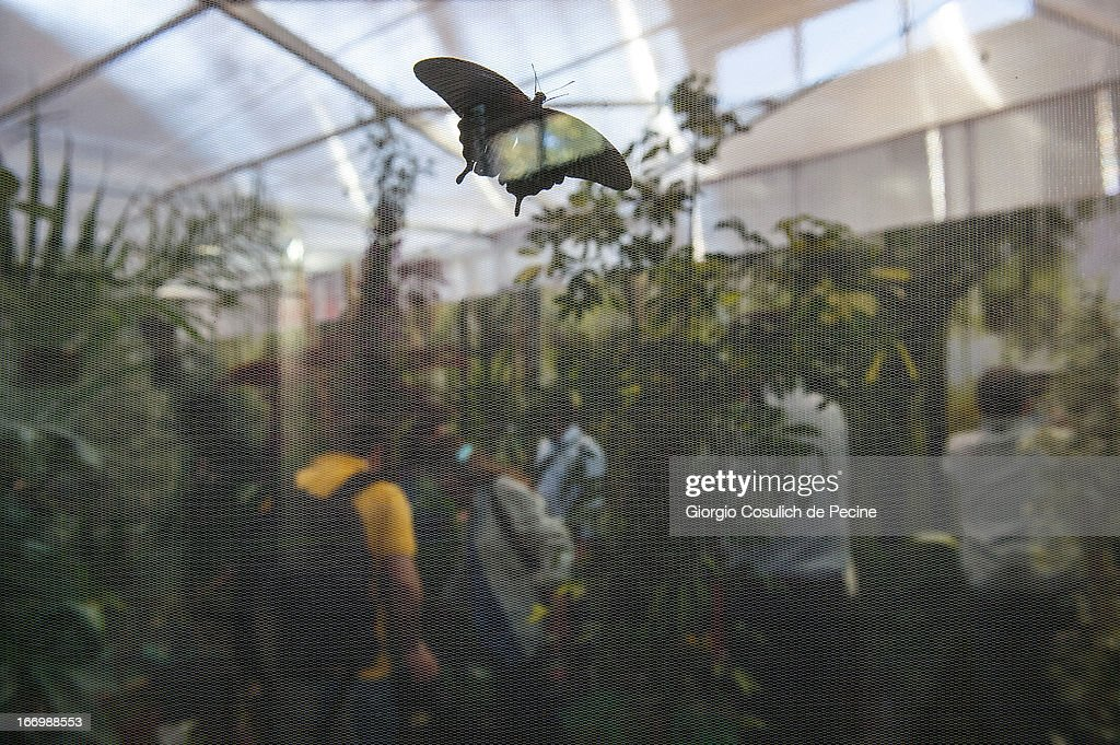 A butterfly is seen during the opening of the new insect section at the Bioparco on April 19, 2013 in Rome, Italy. A new greenhouse measuring 80 square metres will be unveiled at the capital's famous zoological gardens where visitors will be able to walk amongst tropical butterflies and a variety of insects.