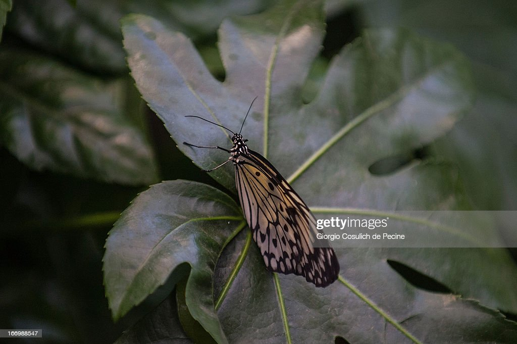 A butterfly is seen during the opening of the new insects section at the Bioparco on April 19, 2013 in Rome, Italy. A new greenhouse measuring 80 square metres will be unveiled at the capital's famous zoological gardens, where visitors will be able to walk amongst tropical butterflies and a variety of insects.