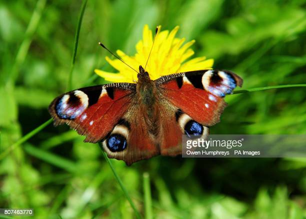A butterfly lands on a dandelion during the warm weather in Derbyshire