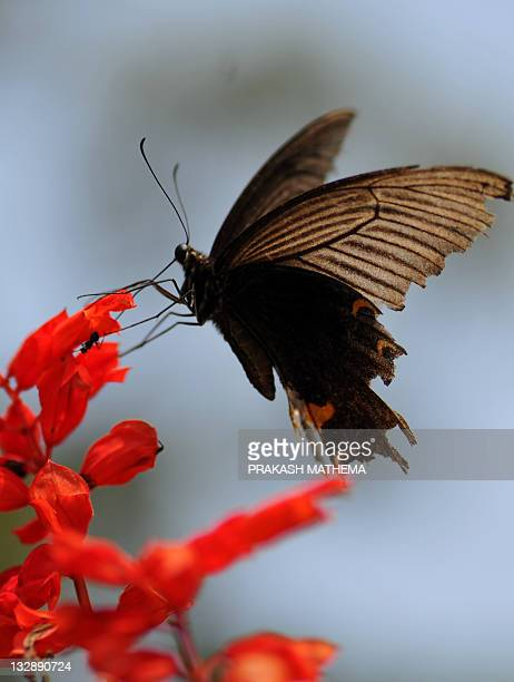 A butterfly lands on a flower at the Godavari Botanical garden on the outskirts of Kathmandu on November 15 2011 Over 600 varieties of butterflies...