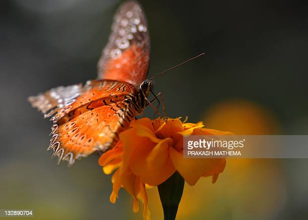 A butterfly lands on a marigold flower at the Godavari Botanical garden on the outskirts of Kathmandu on November 15 2011 Over 600 varieties of...