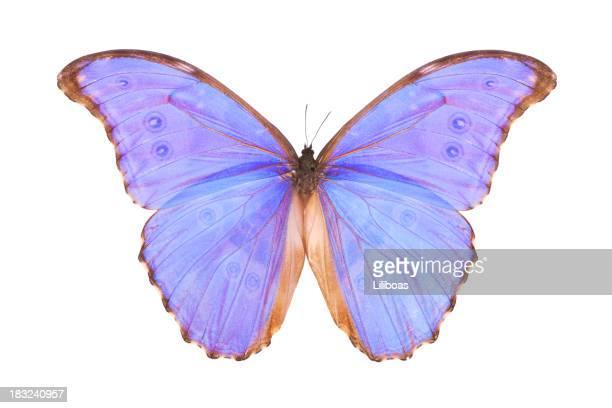 Butterfly Morpho godarti