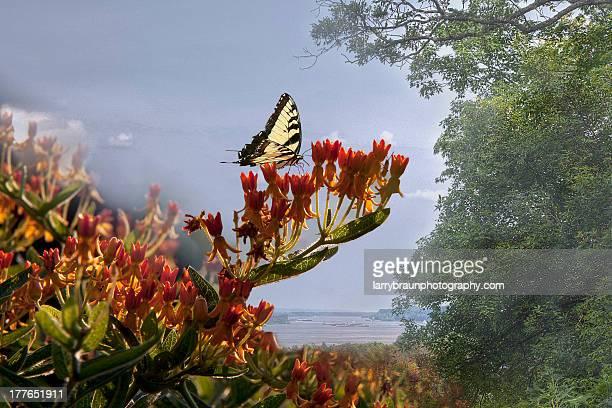 Butterfly on a butterfly milkweed flower