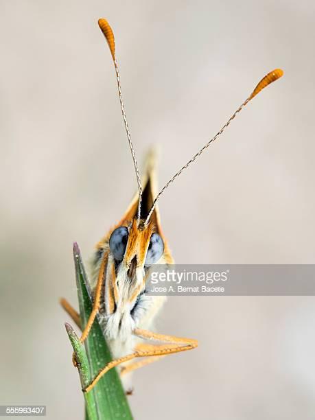 Butterfly on a twig. (Melanargia galathea).