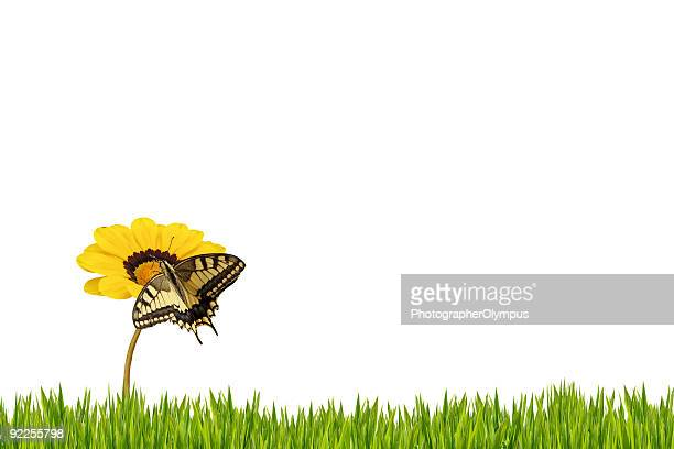 Butterfly on isolated daisy