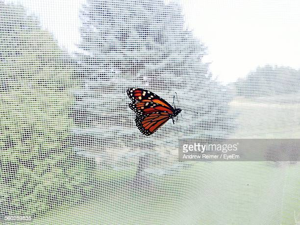 Butterfly On Mosquito Net