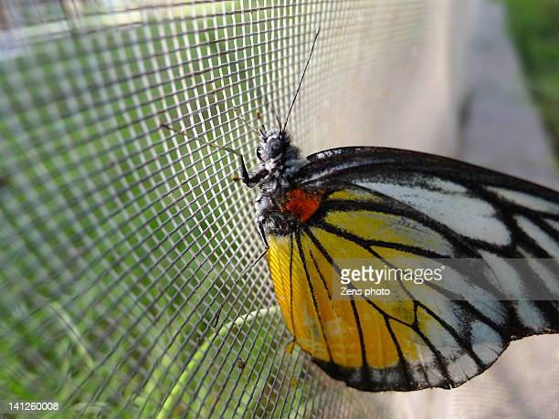 Butterfly on net
