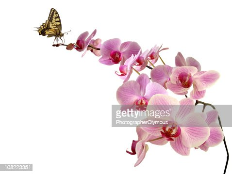 Butterfly on orchid : Stock Photo