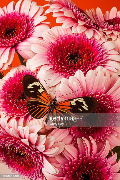 Butterfly on pink mums