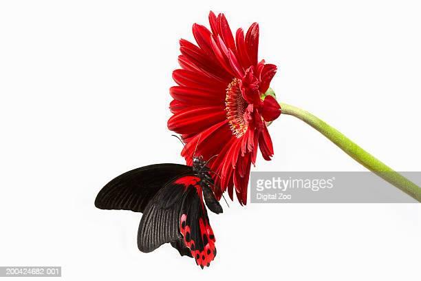 Butterfly on red gerbera (Gerbera sp) flower head, close-up