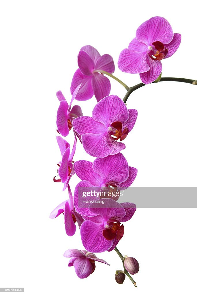 Butterfly orchid : Stock Photo