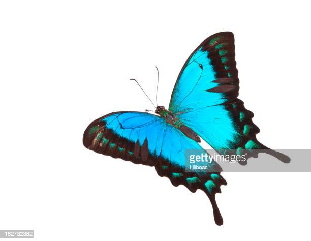 Butterfly Papilio lorquinianus albertisi