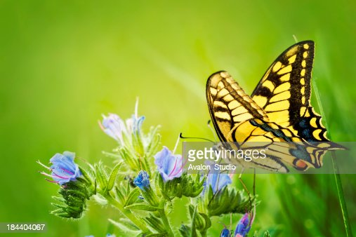 Butterfly Papilio machaon on blue flowers.